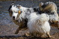 Turf war a small white havanese tried an australian shepherd to hunt through the water hopefully the little one not overestimate Royalty Free Stock Image