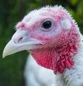 Turkey Bird Head Close Up