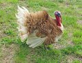 Turkey with brown feathers in the courtyard