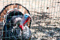 Turkey in a cage photo has adopted an exasperated look Stock Photography