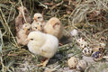 Turkey chicks Royalty Free Stock Photo