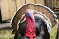 Turkey close-up Royalty Free Stock Images