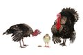 Turkey family isolated on a white background Stock Photo