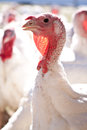 Turkey farm Royalty Free Stock Image