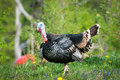 Turkey (lat. meleagris gallopavo) Stock Image