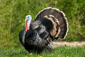 Turkey in meadow Royalty Free Stock Photos