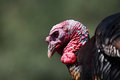 Turkey portrait closeup of big on dark green background Royalty Free Stock Photo