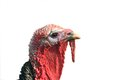 Turkey portrait isolated on white Royalty Free Stock Image