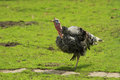 Turkey Steps on the Grass Royalty Free Stock Photo