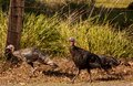 Turkey trot on sauvie island oregon just outside of the portland metro area a tom and his hen wild turkeys seems to be on a Royalty Free Stock Photos