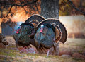 Turkey Trot Royalty Free Stock Photo