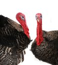 Turkey two cocks lying on a white background Royalty Free Stock Images