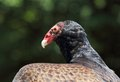 Turkey vulture Stock Image