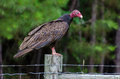 Turkey Vulture on Barbed Wire Royalty Free Stock Photo