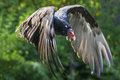 Turkey Vulture Royalty Free Stock Photo