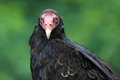 Turkey vulture the detail of Stock Photos