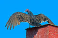 Turkey vulture sitting on chimney wings spread Stock Images
