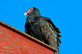 Turkey vulture sitting rooftop Royalty Free Stock Image