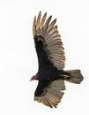 Turkey Vulture Soaring Royalty Free Stock Photo