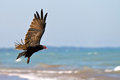Turkey vulture turkey buzzard in flight on a beach Stock Photos