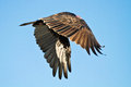 Turkey vulture turkey buzzard in flight on a beach Royalty Free Stock Photo