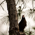Turkey Vulture Waiting on a Tree, Big Cypress National Preserve,