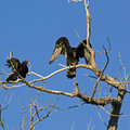 Turkey Vultures roosting Royalty Free Stock Images