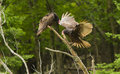 Turkey vultures two vulture cathartes aura perched Stock Photos