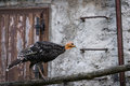 Turkey walking on a wooden beam in the picture while Royalty Free Stock Images
