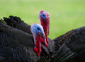 Turkeys close up black turkey with red beaks on the background of green grass Royalty Free Stock Images