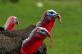 Turkeys close up black turkey with red beaks on the background of green grass Royalty Free Stock Photo