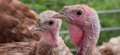 Turkeys closeup of two broiler on organic farm Royalty Free Stock Photography