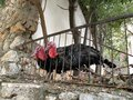 Turkeys With Colorful Plumage And Red Head Behind A Fence