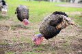 Turkeys eating on farmland Stock Photos