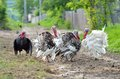 Turkeys four on the village road showing their plumage Royalty Free Stock Image