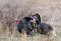 Turkeys gobbling two male merriam gobble on the wyoming prairie Stock Photo