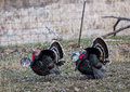 Turkeys strutting two male merriam strut during the spring mating season Royalty Free Stock Photo