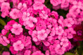 Turkish carnation pink flowers Royalty Free Stock Photo