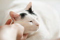 Turkish van cat purrs enjoying while his host scratching him beautiful portrait relax time love between human and Stock Photos