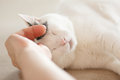 Turkish van cat purrs enjoying while his host scratching him cute expression with eyes closed relax time love between human and Stock Image