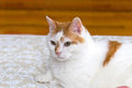 Turkish Van type cat resting Royalty Free Stock Photo
