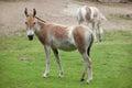 Turkmenian kulan Equus hemionus kulan. Royalty Free Stock Photo