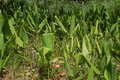 Turmeric plants Royalty Free Stock Photo