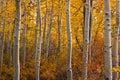 Turning Aspen Grove Royalty Free Stock Photo