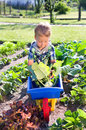 Turnip greens harvest little boy in the Stock Images