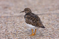 Turnstone bird in Deal Kent UK Stock Photos
