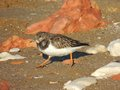 Turnstone this small member of the plover family is shown in winter plumage marching on the beach at hunstanton norfolk england Royalty Free Stock Photography