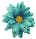 Turquoise chrysanthemum flower isolated on white  background with clipping path.   Closeup.  no shadows.  For design. Royalty Free Stock Photo