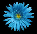 flower Turquoise gerbera on black isolated background with clipping path. Closeup. no shadows. For design. Royalty Free Stock Photo