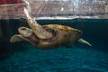 Turtle in Aquarium Cancun Royalty Free Stock Photos